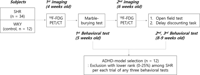Maturational delay and asymmetric information flow of brain connectivity in SHR model of ADHD revealed by topological analysis of metabolic networks