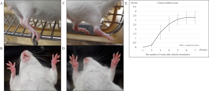 Local transplantation of adipose-derived stem cells has a significant therapeutic effect in a mouse model of rheumatoid arthritis