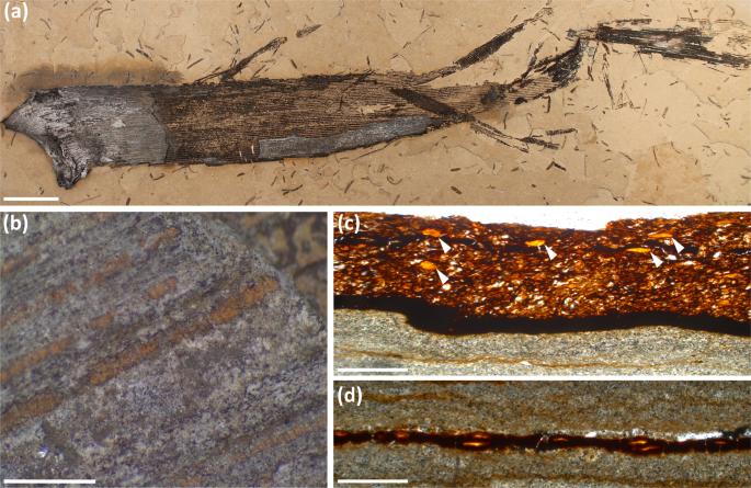Cretaceous gnetalean yields first preserved plant gum