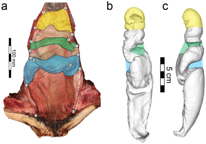 Asymmetric and Spiraled Genitalia Coevolve with Unique Lateralized Mating Behavior