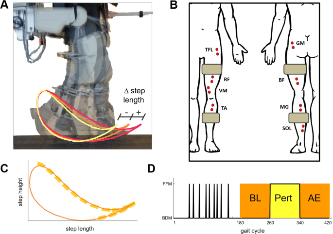 Robot Driven Locomotor Perturbations Reveal Synergy Mediated Context Dependent Feedforward And Feedback Mechanisms Of Adaptation Scientific Reports