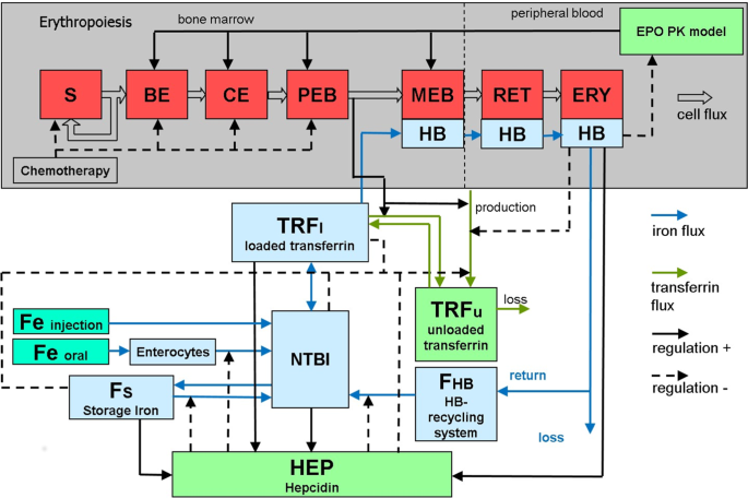 A biomathematical model of human erythropoiesis and iron metabolism