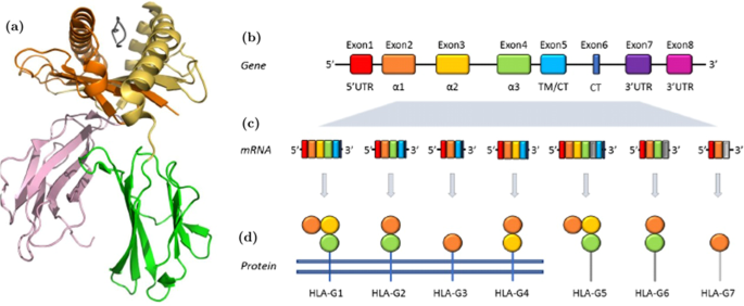 Soluble Hla G Expression Levels And Hla G Irinotecan Association In Metastatic Colorectal Cancer Treated With Irinotecan Based Strategy Scientific Reports