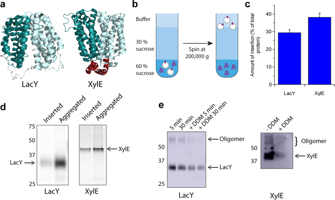 Cell-free expression tools to study co-translational folding of alpha helical membrane transporters