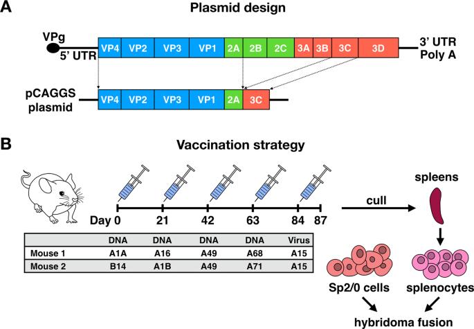 A Cross Reactive Mouse Monoclonal Antibody Against Rhinovirus Mediates Phagocytosis In Vitro Scientific Reports