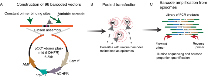 Defining multiplicity of vector uptake in transfected Plasmodium parasites