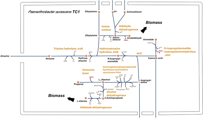 Genome-scale reconstruction of Paenarthrobacter aurescens TC1 metabolic model towards the study of atrazine bioremediation