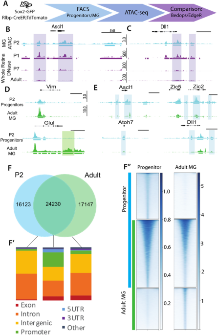 Developmental changes in the accessible chromatin, transcriptome and Ascl1-binding correlate with the loss in Müller Glial regenerative potential