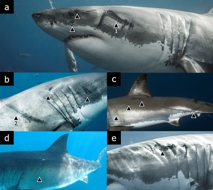 Evidence of interactions between white sharks and large squids in Guadalupe Island, Mexico