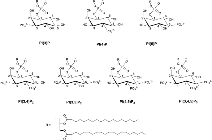 Design, synthesis and evaluation of a tripodal receptor for phosphatidylinositol phosphates