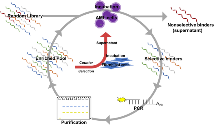 Development and characterization of a DNA aptamer for MLL-AF9 expressing acute myeloid leukemia cells using whole cell-SELEX - Scientific Reports