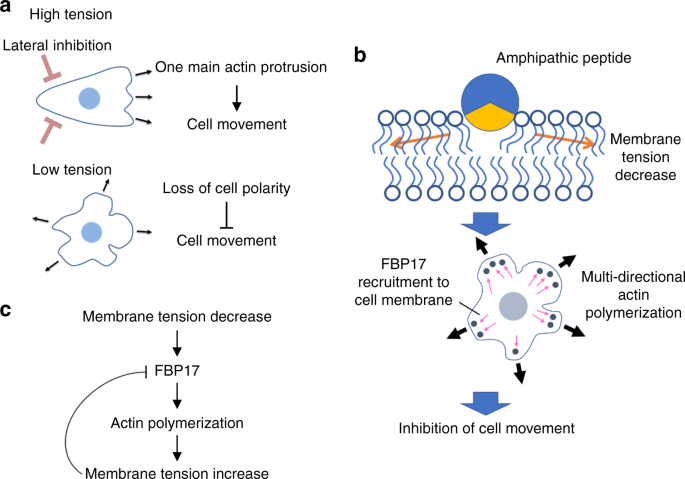 An influenza-derived membrane tension-modulating peptide regulates cell  movement and morphology via actin remodeling | Communications Biology