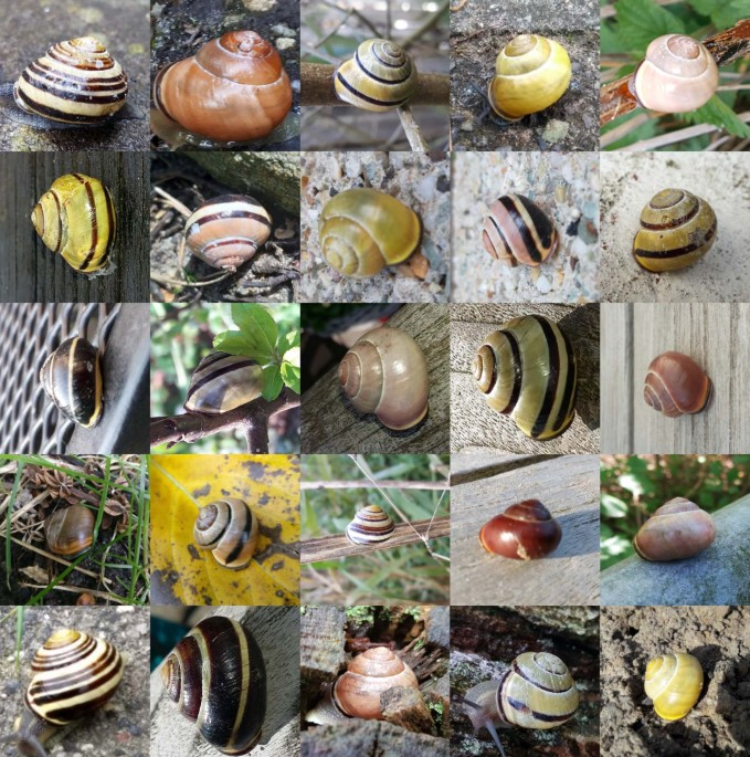 nature.com - Snail shell colour evolution in urban heat islands detected via citizen science