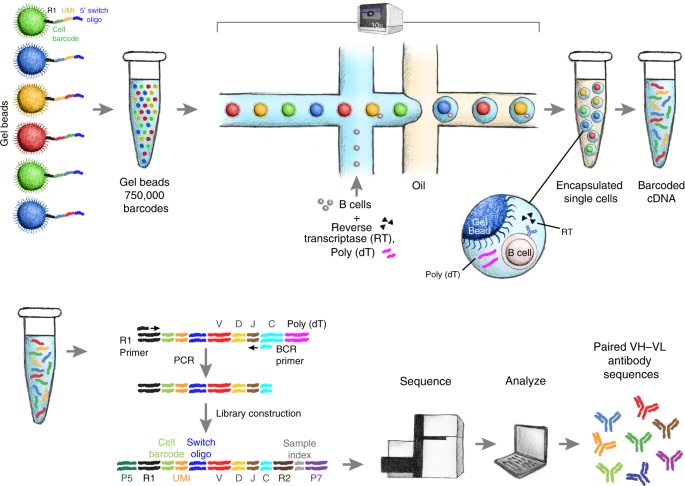 Massively parallel single-cell B-cell receptor sequencing enables