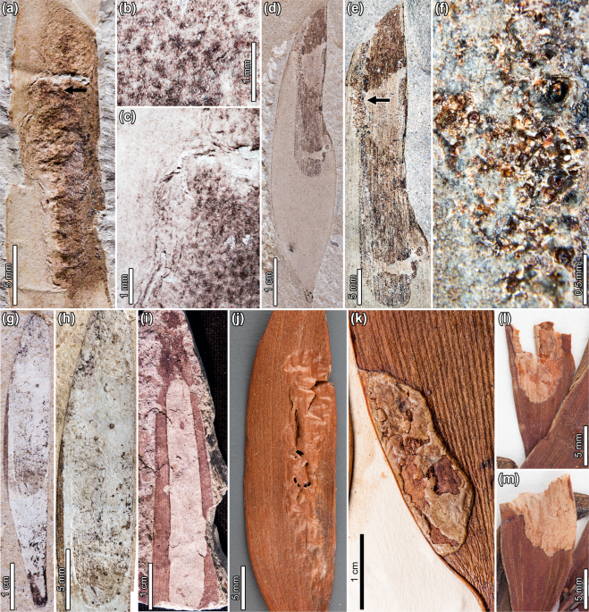 Persistent biotic interactions of a Gondwanan conifer from Cretaceous Patagonia to modern Malesia