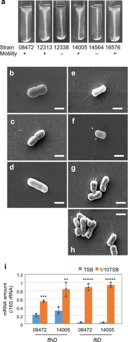 Hypoosmotic stress induces flagellar biosynthesis and swimming motility in Escherichia albertii