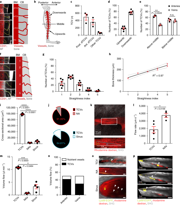 A Network Of Trans Cortical Capillaries As Mainstay For Blood