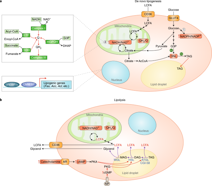 Metabolic adaptation and maladaptation in adipose tissue