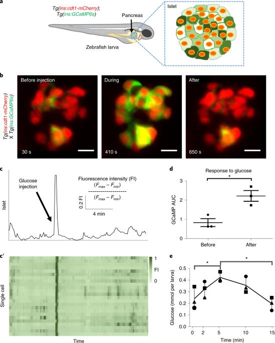 Leader β-cells coordinate Ca 2+ dynamics across pancreatic