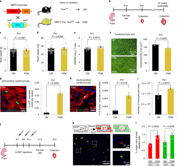 Mitochondrial substrate utilization regulates cardiomyocyte cell-cycle progression