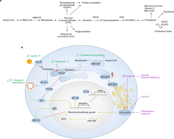 Cholesterol Metabolism In Cancer Mechanisms And Therapeutic Opportunities Nature Metabolism
