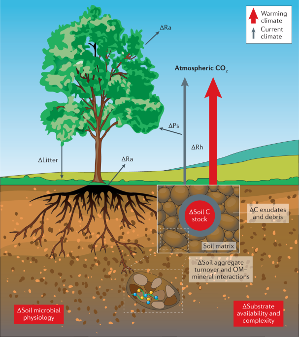 Evidence for large microbial-mediated losses of soil carbon under anthropogenic warming