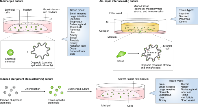 Applications Of Organoids For Cancer Biology And Precision Medicine Nature Cancer