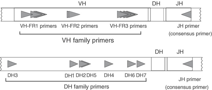 Incomplete DJH rearrangements of the IgH gene are frequent