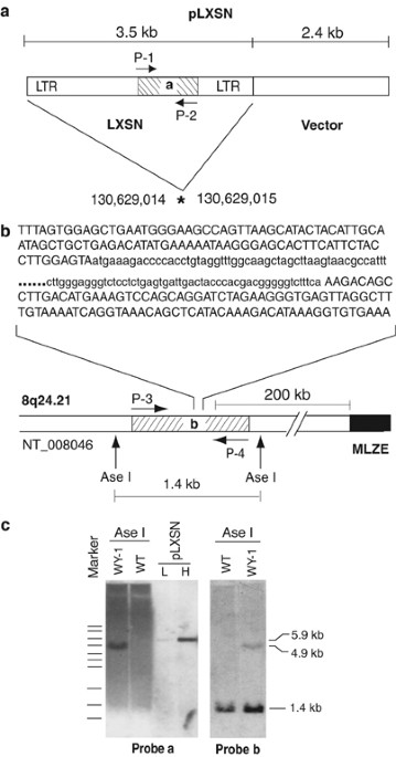 a single lxsn integrated in the genome of 9-cis ra-resistant (wy-1) mutant  plb985 cells  (a) schematic structure of plxsn which integrated (marked