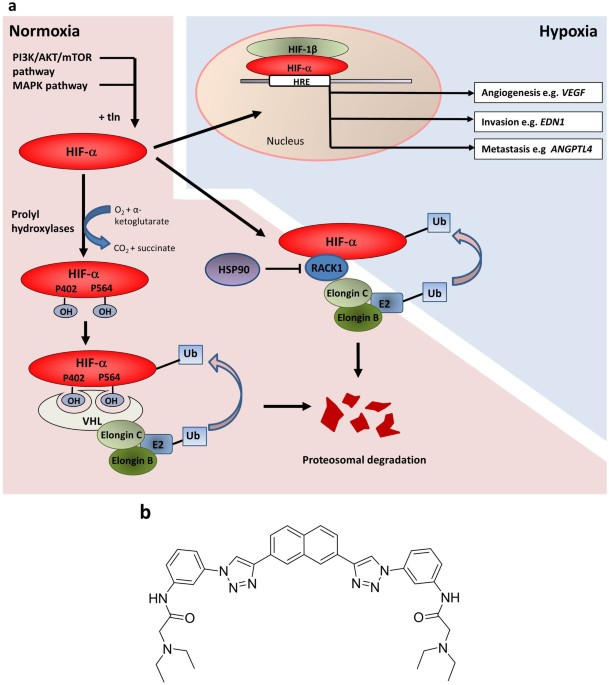 Inhibition Of The Hypoxia-inducible Factor Pathway By A G