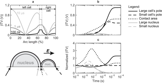 Cell Electrofusion Using Nanosecond Electric Pulses Scientific