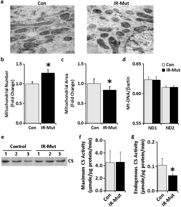 Model Gorden Ala Korea insulin resistance in human ips cells reduces mitochondrial