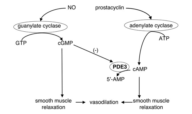 Regulation Of Phosphodiesterase 3 In The Pulmonary Arteries During The Perinatal Period In Sheep Pediatric Research