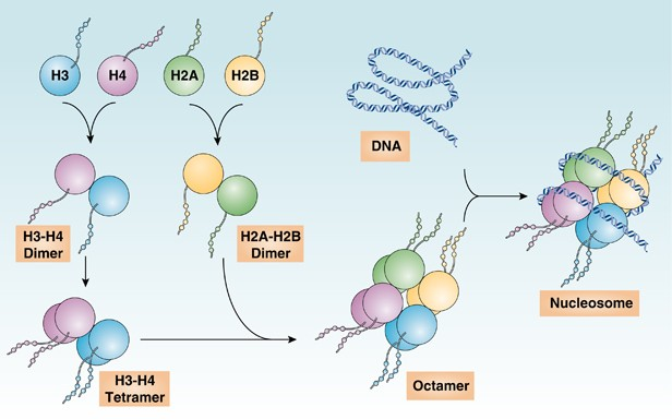 release and activity of histone in diseases