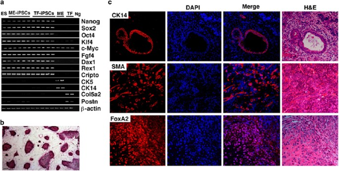 Enhancing mammary differentiation by overcoming lineage ...