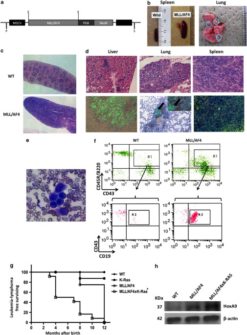(PDF) Distinct Leukemia Phenotypes in Transgenic Mice and