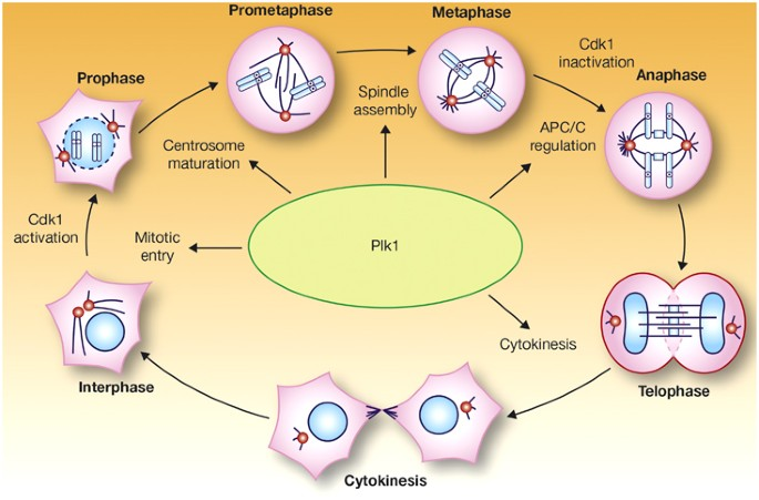 Discovery and development of the Polo-like kinase