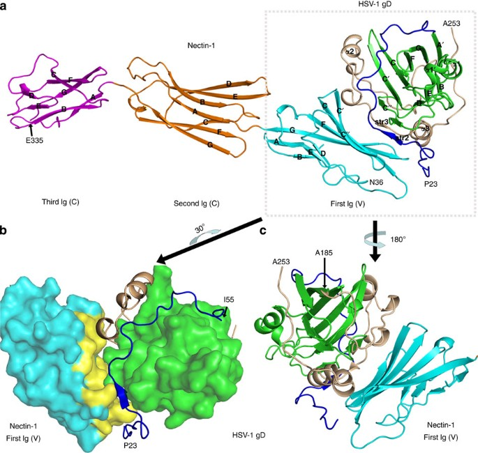 Binding Of Herpes Simplex Virus Glycoprotein D To Nectin-1