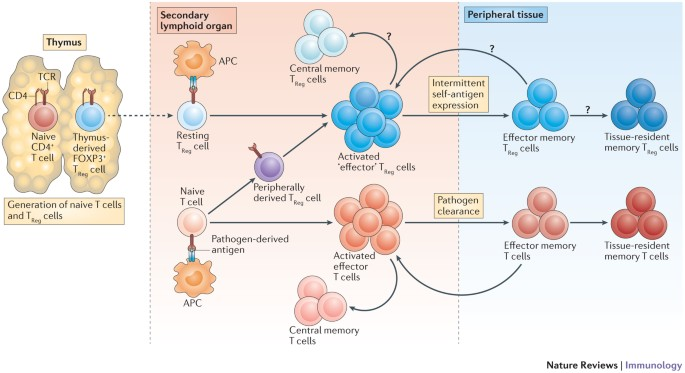 what are memory t cells