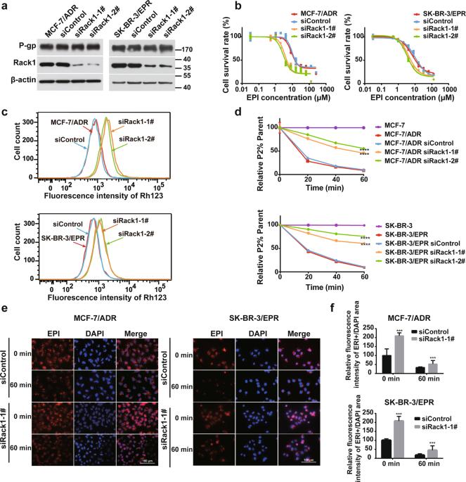 Rack1 Mediates Src Binding To Drug Transporter P