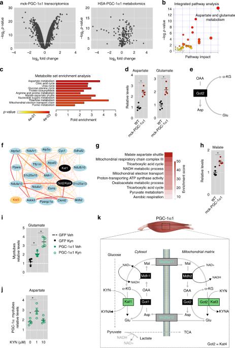 Skeletal Muscle Pgc 1 1 Reroutes Kynurenine Metabolism To