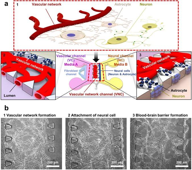 A Low Permeability Microfluidic Blood Brain Barrier