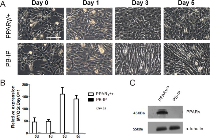 A transcriptomic study of myogenic differentiation under ...