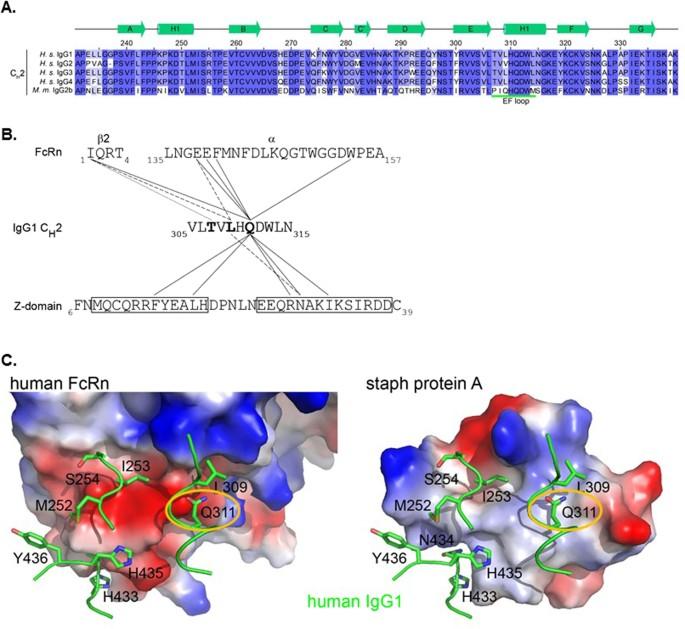 rapid purification of human bispecific antibodies via