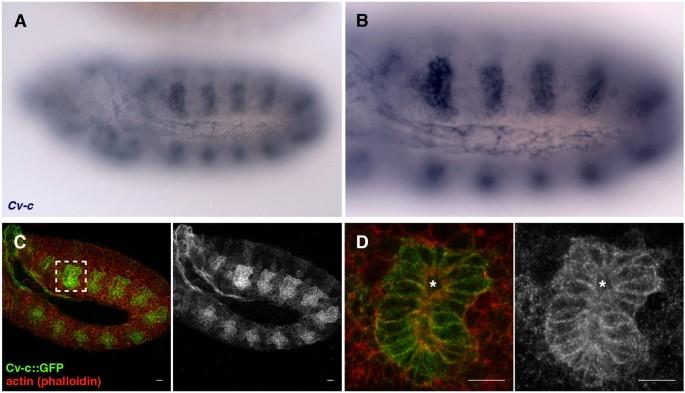 functional analysis of the drosophila rhogap cv