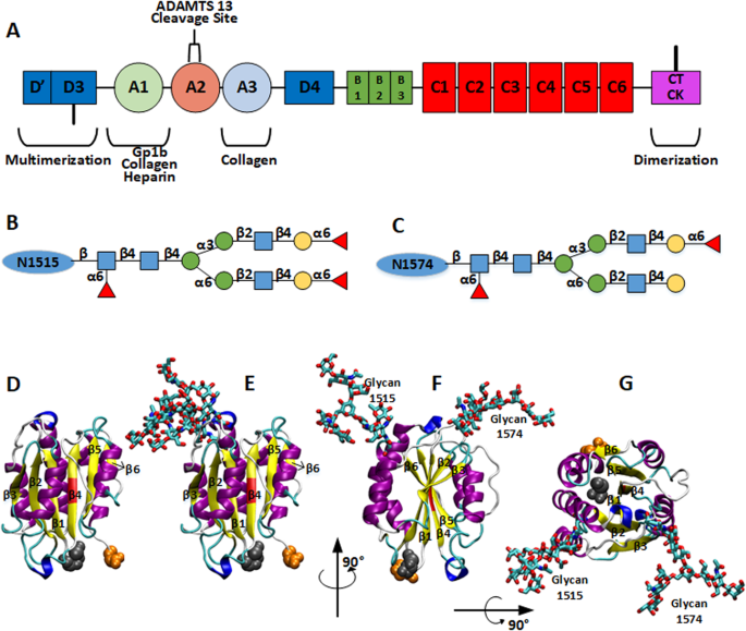 Long-ranged Protein-glycan Interactions Stabilize von ...