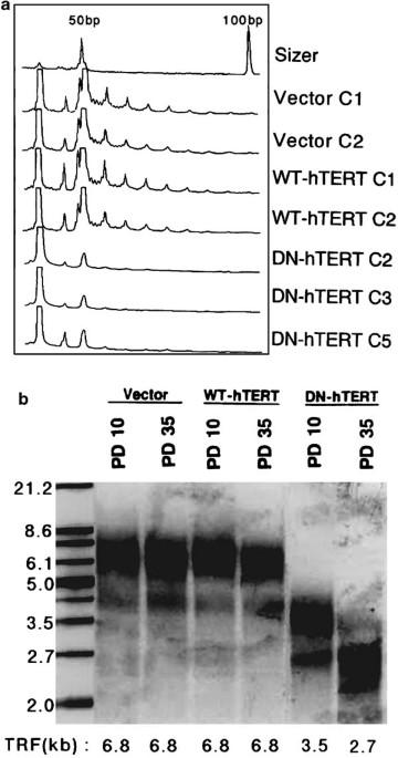Telomerase inhibition enhances apoptosis in human acute
