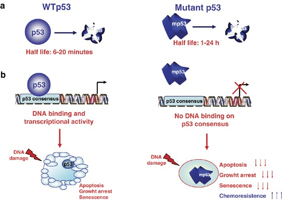 Identification of p53 mutation in HEL and SET-2 cells. The