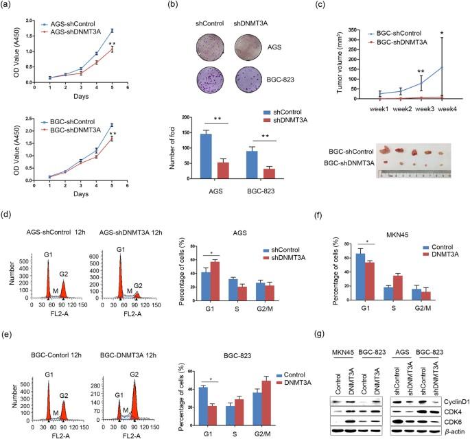 DNA methyltransferase 3A promotes cell proliferation by