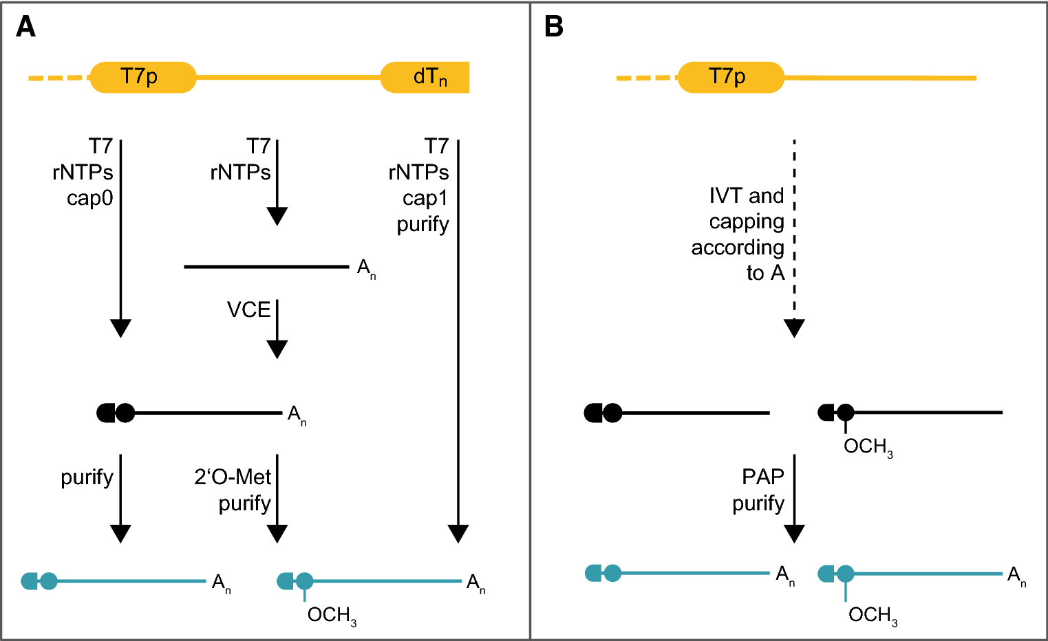 mRNA as novel technology for passive immunotherapy